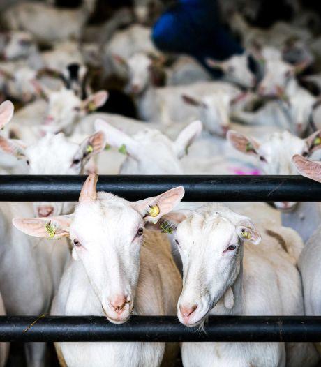 Te veel geiten in Hurwenen en dat leidt tot extra stank en fijnstof; 'Welzijn bewoners bewust ernstig in gevaar gebracht'
