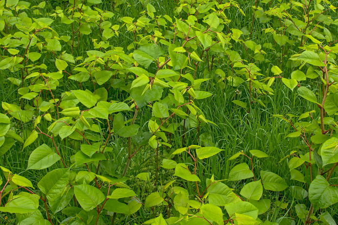 De Japanse duizendknoop wordt ook wel de groene sloper genoemd omdat de oersterke stengels overal doorheen groeien.