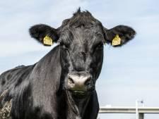 De ene Black Angus is de andere niet: 'Vlees van grasgevoerde runderen zijn zeker heerlijk mals en juicy'