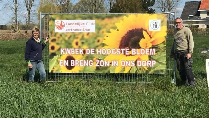 Landelijke Gilde Verbrande Brug doet laatste oproep naar grootste zonnebloem