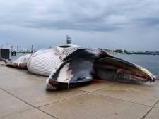 Une baleine morte retrouvée dans un port aux Pays-Bas
