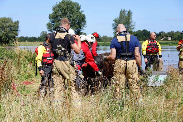 De reddingsactie van een koe in volle gang in Escharen.