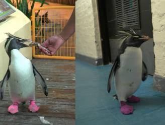 Opvallend: deze pinguïns lopen rond op roze sokken