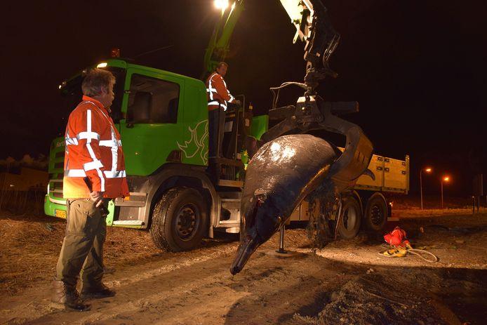 De 4,74 meter lange en 930 kilo zware spitssnuitdolfijn wordt van het strand gehesen.