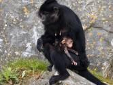 Uniek babynieuws: kuifmangabey geboren in Beekse Bergen