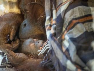 Pairi Daiza verwelkomt nieuwe baby orang-oetan Mathaï