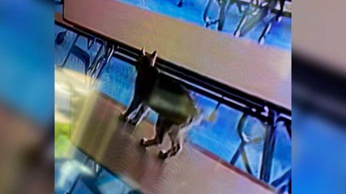 De 'bobcat' die werd vastgelegd op de bewakingscamera's.