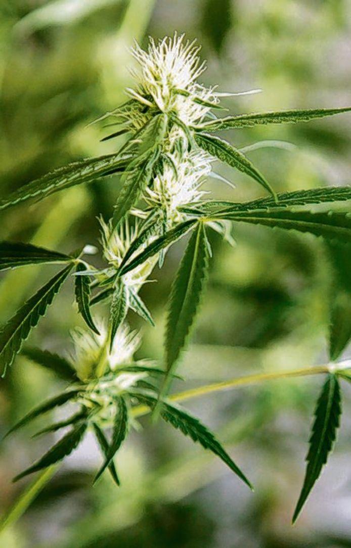 Cannabis kan een uitkomst zijn voor zieke mensen.
