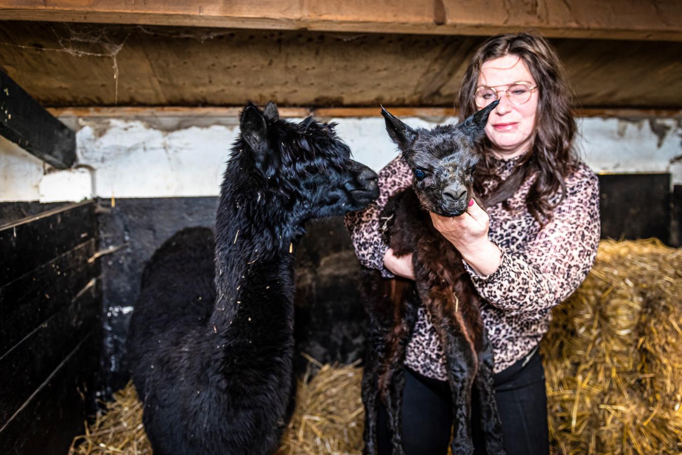 Ardith houdt voorzichtig het pas geboren Alpaca kalfje in haar armen.