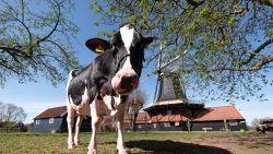 Nederlandse koe Liesje 22 is als eerste 'cowfluencer' ter wereld een hit op Instagram