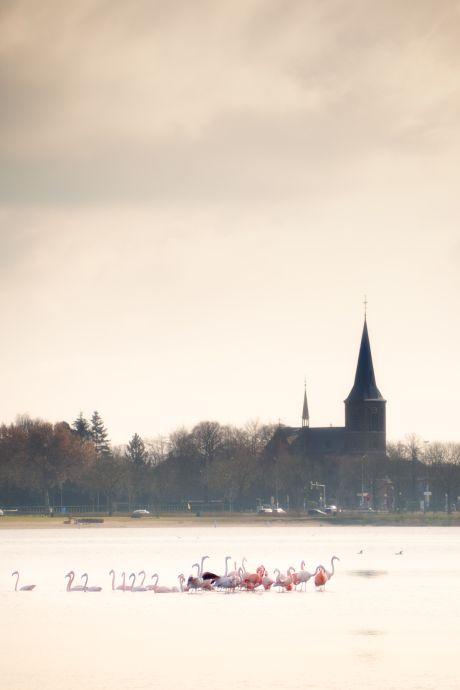 Bijzonder: flamingo's bij Kraaijenbergse Plassen! Vogelspotters spoeden zich om erbij te zijn