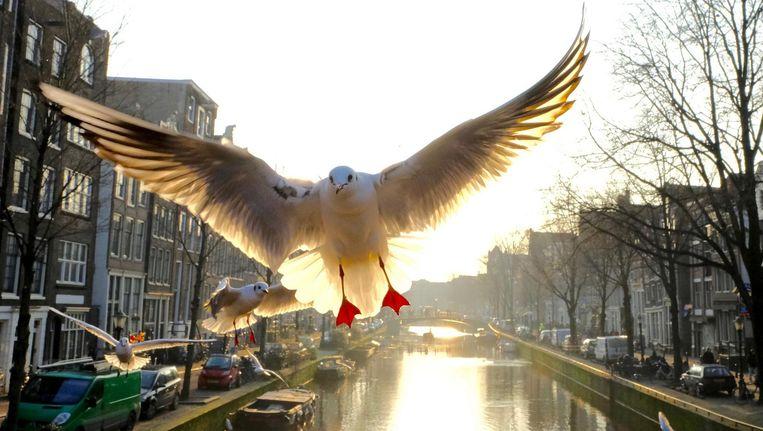 Rotvogels, zeggen sommigen. Maar Gerard Schoone maakte duizenden foto's van meeuwen. Tegen het decor van de Amsterdamse binnenstad Beeld Gerard Schoone
