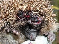 Enge ziekte slaat opnieuw toe bij egelpopulatie in Roosendaal