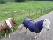 Twee pony's (even) zelfstandig aan de wandel in Westervoort