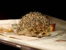 Steeds meer egels logeren in Zoetermeer: opvang barst uit z'n voegen