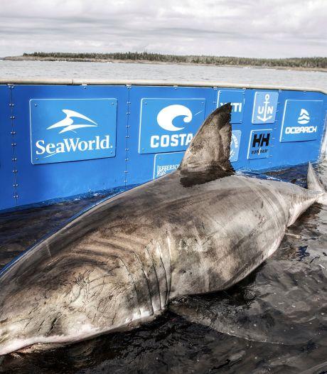 """Un gigantesque requin blanc en route pour l'Europe: """"C'est exceptionnel"""""""