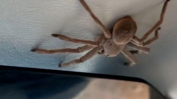Grote spin aan boord van vliegtuig