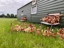 Einde vogelpest: kippen van Hans Bach mogen eindelijk weer naar buiten