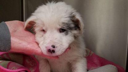 Blinde, dove puppy gered nadat ze in zak vol stenen was gedumpt in ijskoude kreek