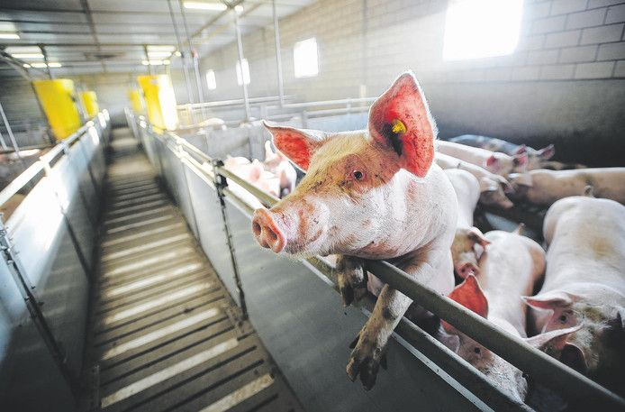 Dit varkentje stinkt al meer dan 40 jaar aan alle kanten, betoogt jurist Valentijn Wösten. ,,Nu zijn bestuurders nodig die de veehouderij wel toekomstbestendig willen maken.''