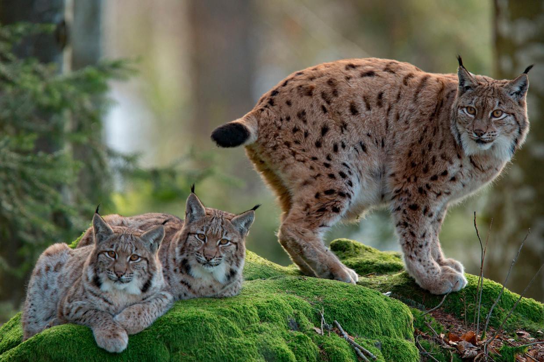 Geen gebrek aan Europees geld voor de Euraziatische lynx.