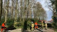Windstoten vellen boom in Buggenhout: Kasteelstraat anderhalf uur versperd