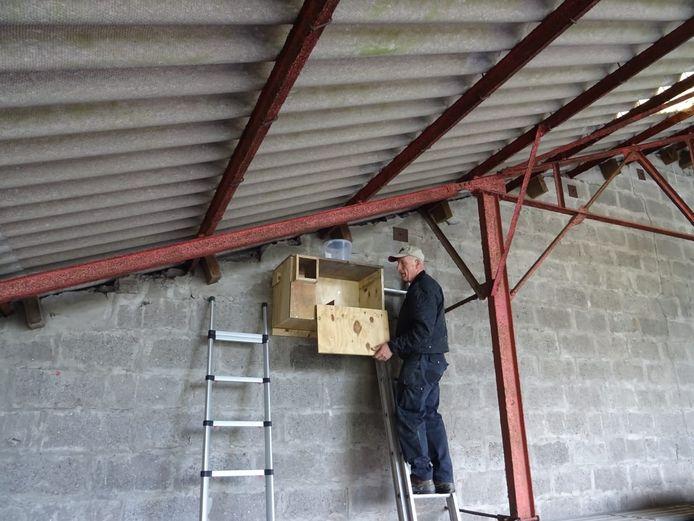 Hans Molenaar, coördinator van de kerkuilen werkgroep Zeeuws-Vlaanderen, controleert nestkast voor kerkuilen in Overslag.