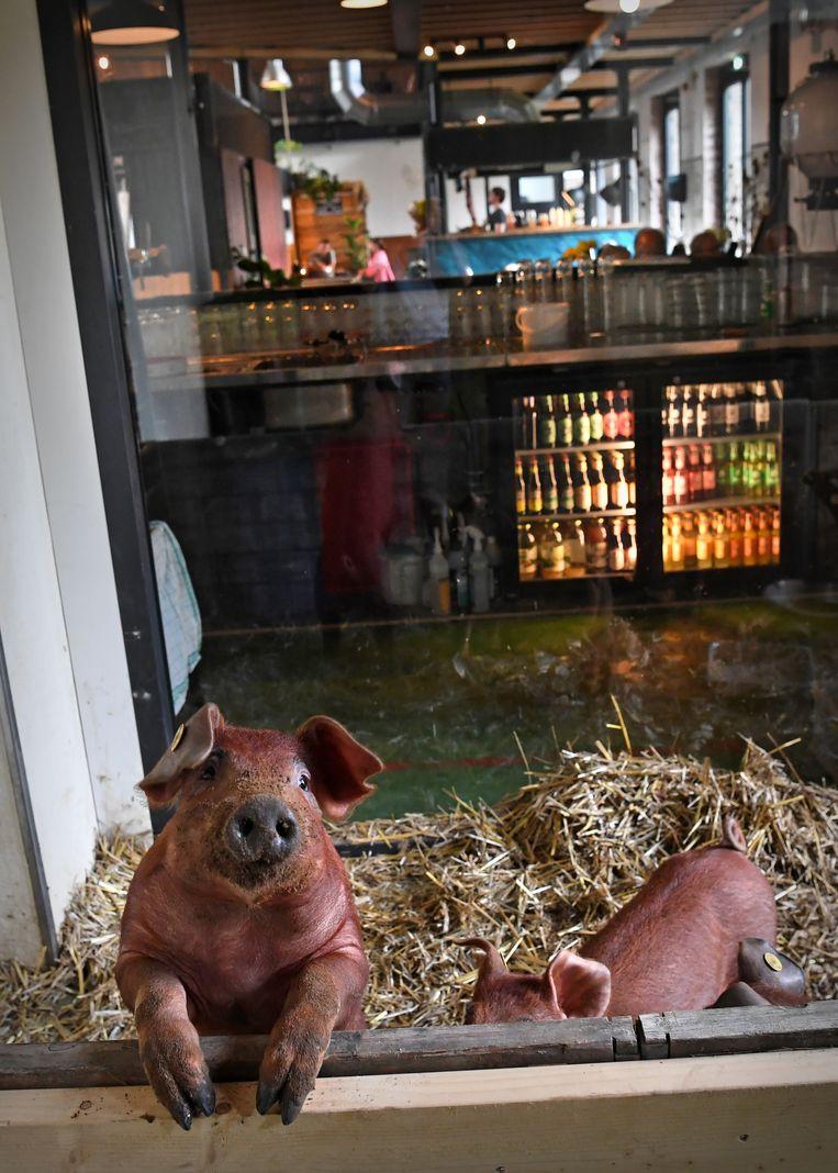 Durocvarkens in het Smaakpark in Ede.  Beeld Marcel van den Bergh / de Volkskrant
