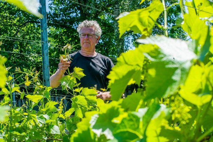 Wijnboer Henk Aarts uit Soerendonk heeft schade aan zijn wijnstokken na één nacht vorst in mei.