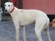 Hond Pico zwerft al zeven maanden door de bossen in regio Utrecht, maar er is weer hoop voor zijn baasje