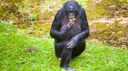Bonobo's Planckendael nog niet klaar, bezoekers krijgen 'terugkomticket'