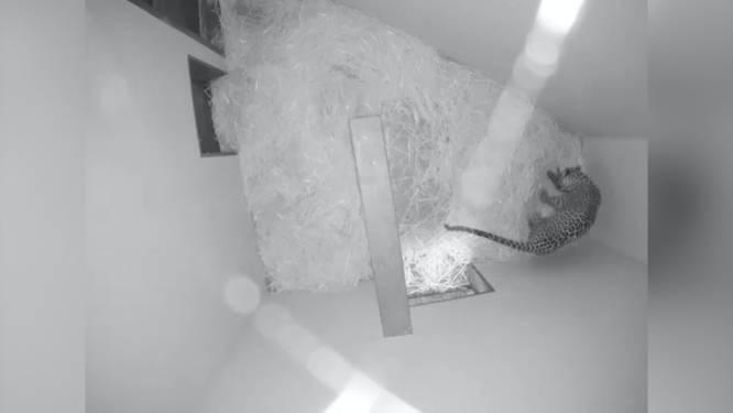 Video van de Dag | Camera legt bijzondere geboorte in dierentuin vast: van bovenaf kun je meekijken