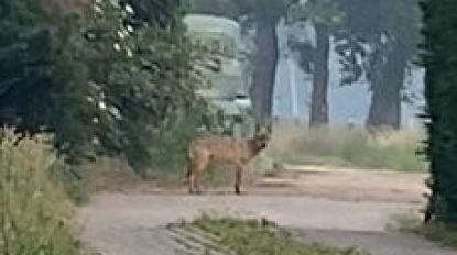 Nieuwe beelden van wolf Billy in Oud-Turnhout