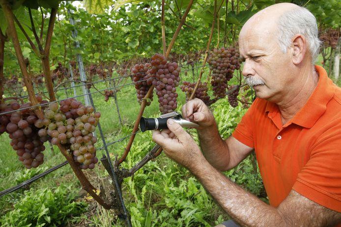 Arjan Stam heeft 4200 wijnstokken op de grens van Elst en Valburg.