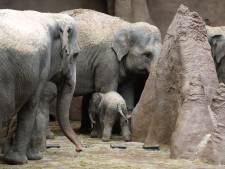 Blijdorp in zijn nopjes met geboorte van baby-olifant