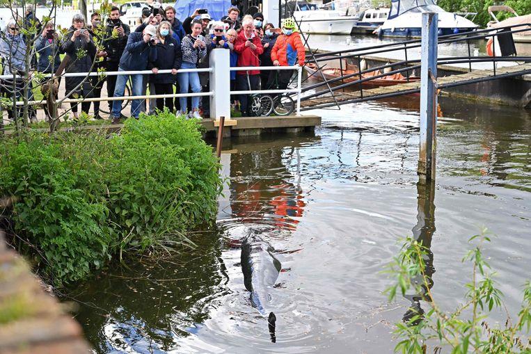 De walvis in Teddington. Beeld AFP