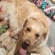 Golden retriever bevalt van een groene puppy