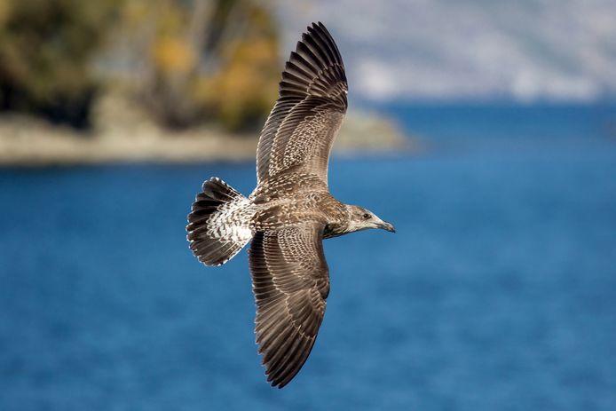 De pijlstormvogel blijkt een van de grootste slachtoffers van het plasticafval in de zeeën.