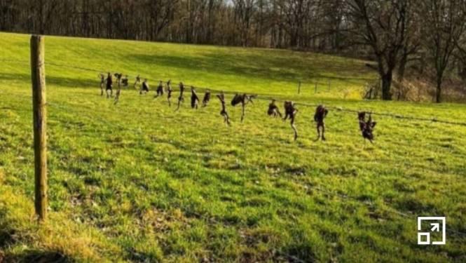 Dierenbeul in Nederland martelt padden en hangt ze aan prikkeldraad