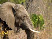 Weer tientallen olifanten vergiftigd met cyanide