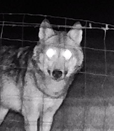 Brabantse wolf lijkt vertrokken naar België: op deze plekken sloeg hij dit jaar toe