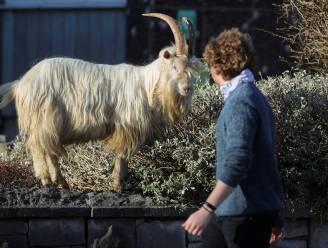 """Wilde geiten palmen stadje in Wales opnieuw in : """"Ze komen zelfs tot op de parking van de Primark"""""""
