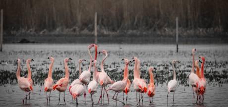 Flamingokolonie weer terug in het Zwillbrocker Venn