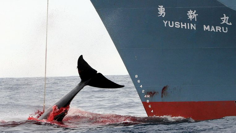 Japanse walvisjacht Beeld afp