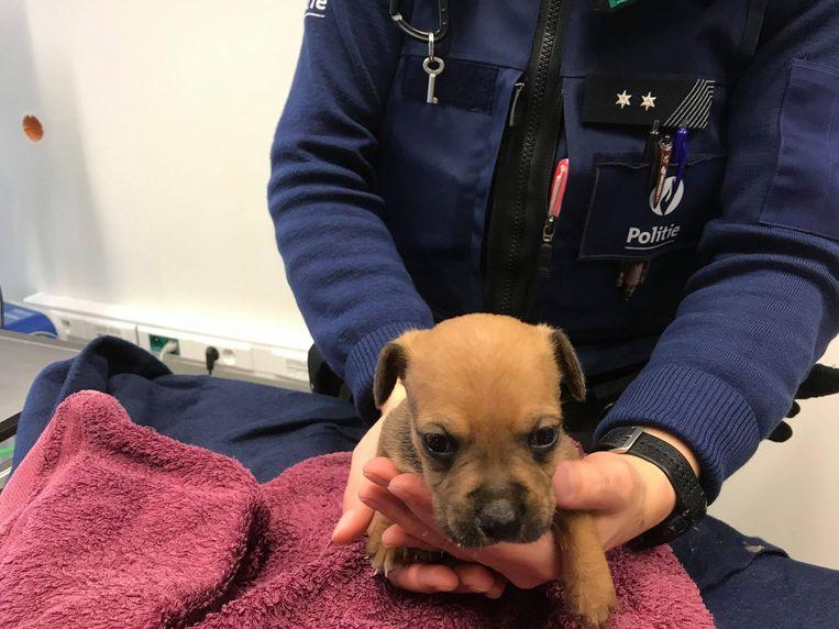 De boxer-puppy die op een braakliggend terrein in de Biekorfstraat liep. Het hondje verblijft in een gastgezin.