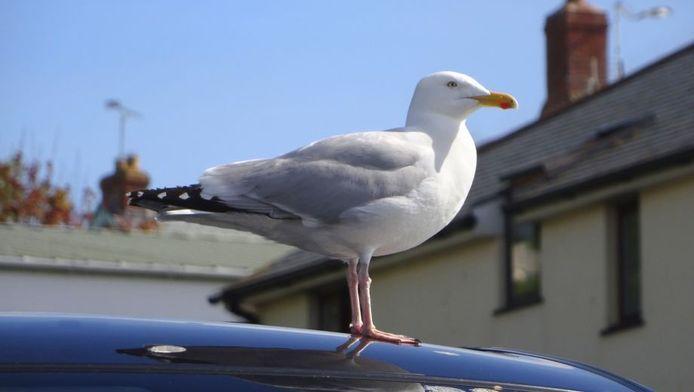 Vogels richten veel schade aan met hun uitwerpselen.