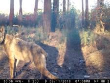 Des experts en sont convaincus: Naya, la louve du Limbourg, a été abattue par des braconniers