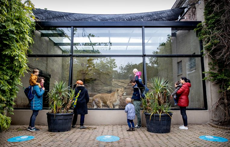 Bezoekers bij het leeuwenverblijf in Artis.  Beeld ANP