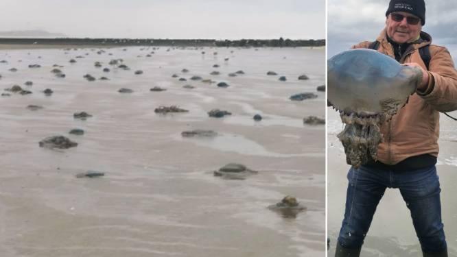 """Storm Aurore doet massa kwallen aanspoelen aan de westkust: """"Door opwarming van de aarde kunnen deze 'zeepaddenstoelen' extreem groot worden"""""""