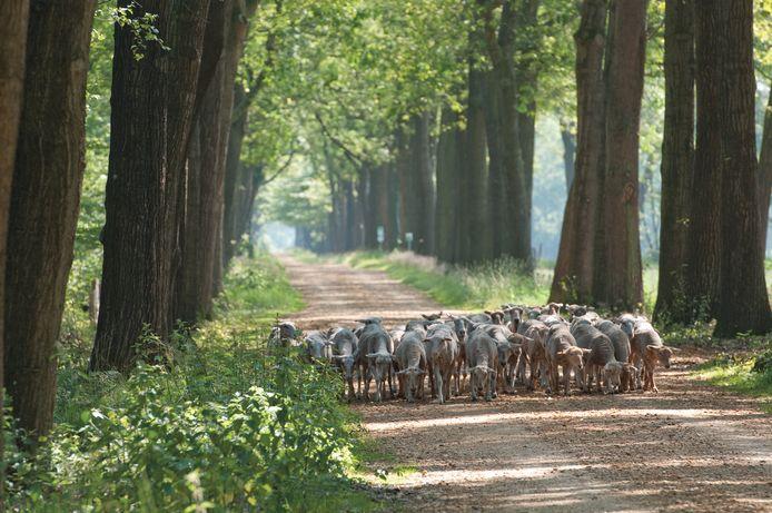 In Wortel-Kolonie kom je regelmatig ook schapenkuddes tegen.